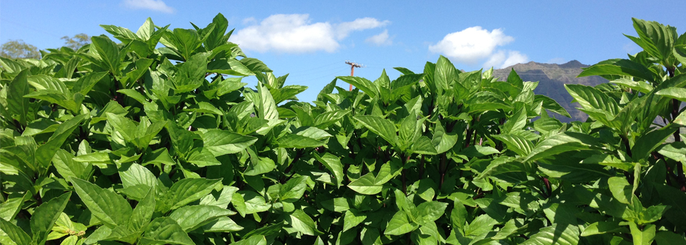 Supply Fresh Herb Basil - Green Basil Products Produce Farm